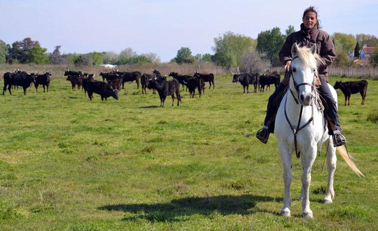 le guide Amandine sur son cheval Camarguais avec les taureaux en arrière plan